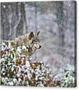 Timber Wolf Pictures 186 Acrylic Print