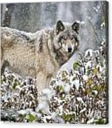 Timber Wolf Pictures 187 Acrylic Print