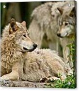 Timber Wolf Pictures 192 Acrylic Print