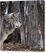 Timber Wolf Pictures 203 Acrylic Print