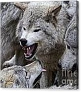 Timber Wolf Pictures 210 Acrylic Print