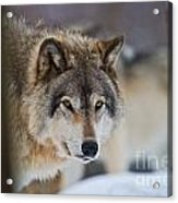 Timber Wolf Pictures 259 Acrylic Print