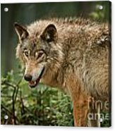 Timber Wolf Pictures 262 Acrylic Print