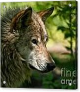 Timber Wolf Pictures 263 Acrylic Print