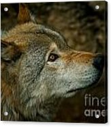 Timber Wolf Pictures 268 Acrylic Print