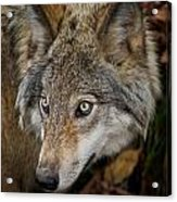 Timber Wolf Pictures 270 Acrylic Print