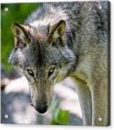 Timber Wolf Pictures 294 Acrylic Print
