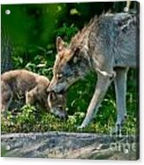 Timber Wolf Pictures 332 Acrylic Print