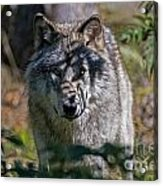Timber Wolf Pictures 405 Acrylic Print