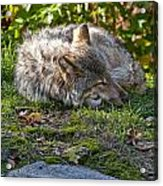 Timber Wolf Pictures 42 Acrylic Print