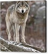 Timber Wolf Pictures 495 Acrylic Print