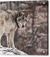 Timber Wolf Pictures 498 Acrylic Print