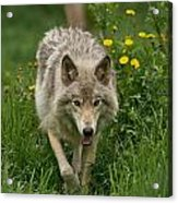 Timber Wolf Pictures 59 Acrylic Print
