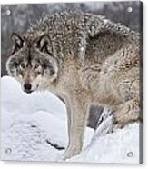 Timber Wolf Pictures 683 Acrylic Print