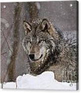 Timber Wolf Pictures 74 Acrylic Print