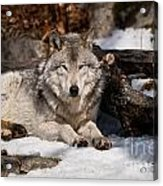 Timber Wolf Pictures 776 Acrylic Print