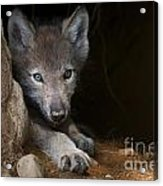 Timber Wolf Pictures 875 Acrylic Print