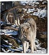 Timber Wolf Pictures 957 Acrylic Print by World Wildlife Photography