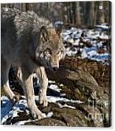 Timber Wolf Pictures 969 Acrylic Print