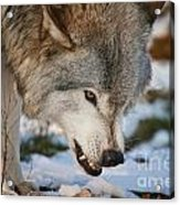 Timber Wolf Pictures 985 Acrylic Print