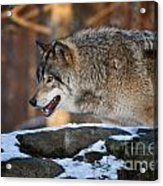 Timber Wolf Pictures 991 Acrylic Print