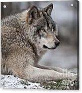 Timber Wolf Portrait Acrylic Print