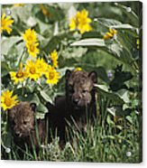 Timber Wolf Pups And Flowers North Acrylic Print