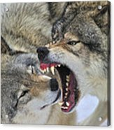Timber Wolves Play Acrylic Print