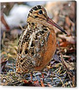 Timberdoodle The American Woodcock Acrylic Print