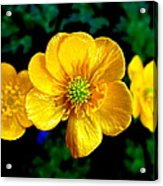 Timeless Buttercup Acrylic Print