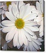Timeless Sunshine Daisy Acrylic Print