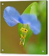 Tiny Blue Flower Acrylic Print