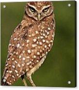 Tiny Burrowing Owl Acrylic Print