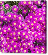 Tiny Dancer - Colorful Midday Flowers Lampranthus Amoenus Flower In Bloom In Spring. Acrylic Print