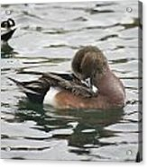 Tiny Duck Cleaning 4   # Acrylic Print