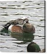Tiny Duck Cleaning 1 Acrylic Print