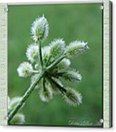 Tiny Flower Head Before Bloom Acrylic Print