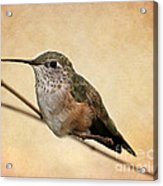 Tiny Hummingbird Resting Acrylic Print