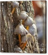 Tiny Mushrooms On The Side Of A Stump Acrylic Print
