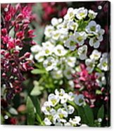 Tiny Pink And Tiny White Flowers Acrylic Print