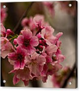 Tiny Pink Blossoms Acrylic Print