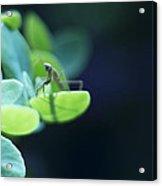 Tiny Praying Mantis On Sedum Acrylic Print
