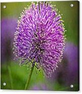 Tiny Purple Wildflower II Acrylic Print