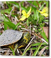 Tiny Turtle Close Up Acrylic Print