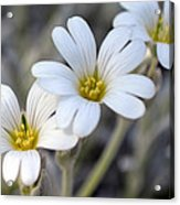 Tiny White Flowers #1 Acrylic Print