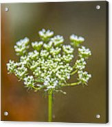 Tiny White Flowers Acrylic Print