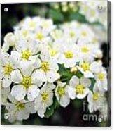Tiny White Yellow Flowers Acrylic Print