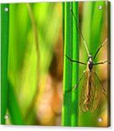 Tipula Acrylic Print by Tommytechno Sweden