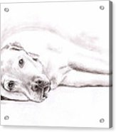 Tired Labrador Acrylic Print