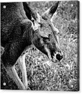 Tired Old Kangaroo Acrylic Print